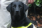 Gatsby the irish guide dog smaller